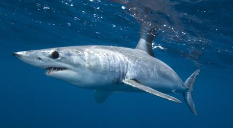 pas de requins mako