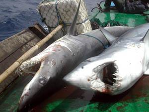 requins pêchés